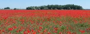 poppy fields in Hungary