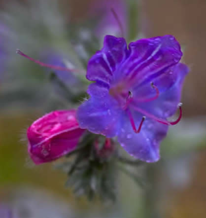 purple vipers bugloss