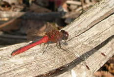 which dragonfly?