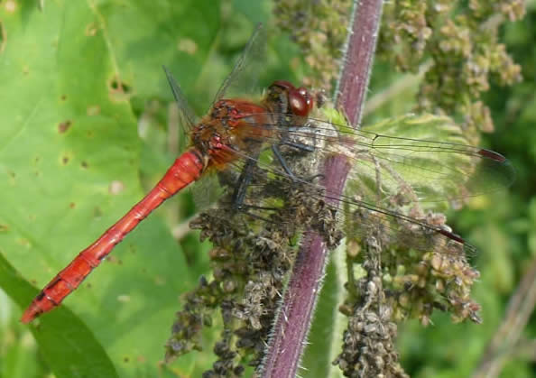 ruddy darter, 3 Sept 2018