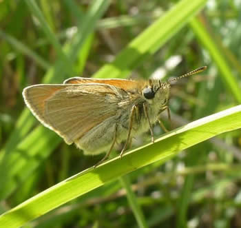 smalll skipper