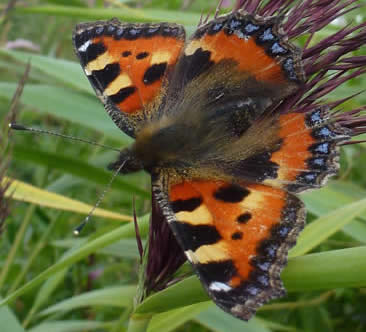 small tortoiseshell on reed