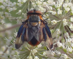 tachinid fly Phasia hemiptera