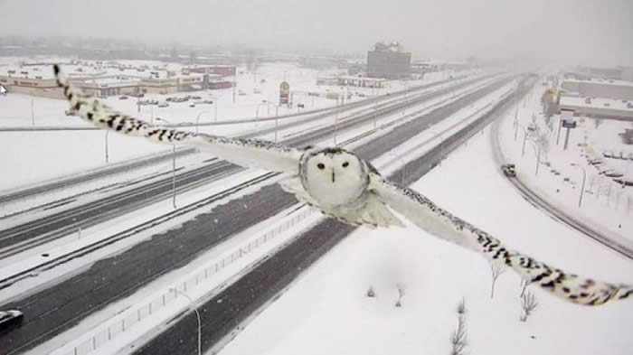 A Traffic Camera Captured This Gorgeous Shot of a Snowy Owl in Flight