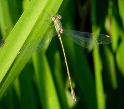 willow emerald damselfly, 3 Sept 2018