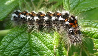yellow-tail moth caterpillar