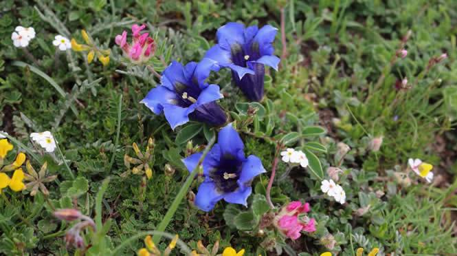 Gentiana angustifolia subsp occidentalis-trumpet gentian