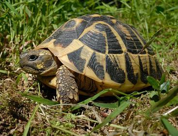 Hermann's tortoise (Ivan Nethercoat)