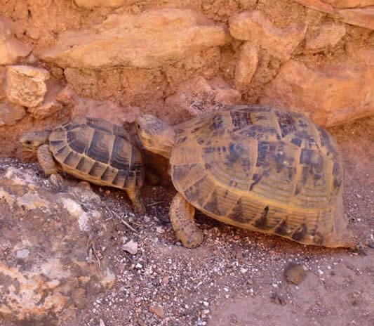 Moorish tortoises
