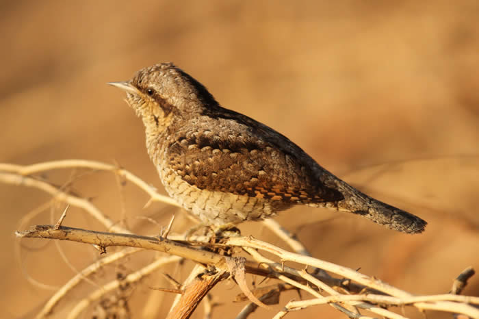 Wryneck by David V Raju (Wikimedia Commons)