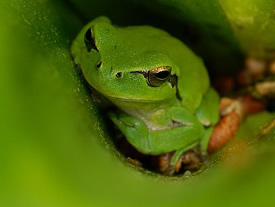 Stripeless tree frog in squill ( Ivan Nethercoat)