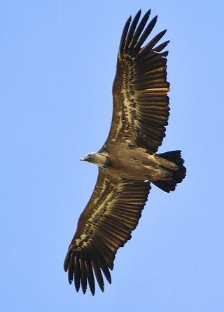 Griffon vulture (Ivan Nethercoat)